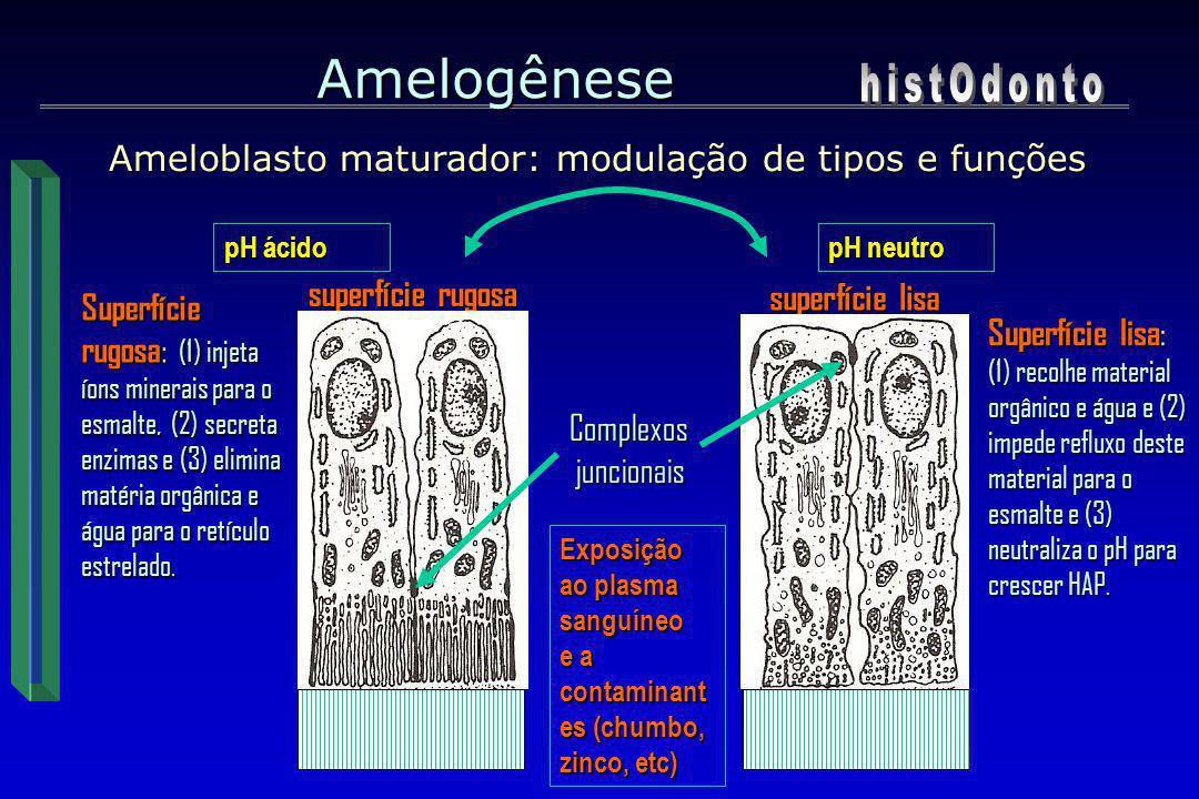 Ameloblasto maturador: modulação de tipos e funções Ameloblasto maturador: modulação de tipos e funções Amelogênese Complexos juncionais juncionais Su