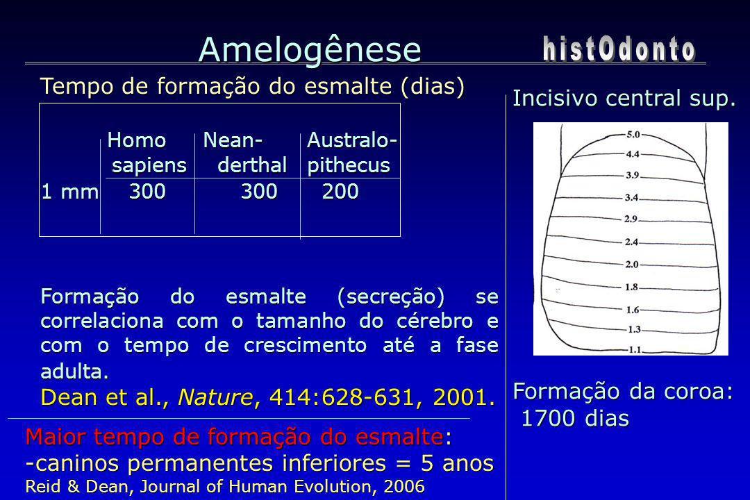 Amelogênese Tempo de formação do esmalte (dias) Homo Nean- Australo- sapiens derthal pithecus sapiens derthal pithecus 1 mm 300300 200 Formação do esm