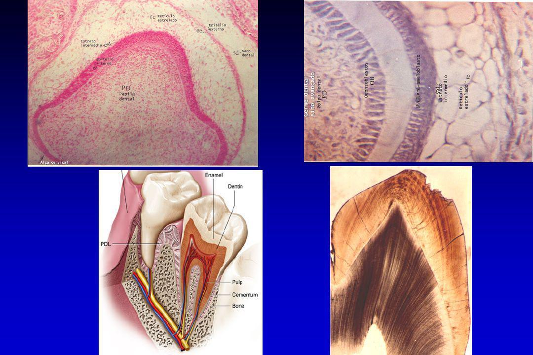 Ameloblastos: ciclo vital Ameloblastos: ciclo vital Amelogênese Ameloblastosecretor Ameloblasto maturador Epitélio reduzido do esmalte superfície rugosa superfície lisa -- Antes da deposição de dentina: cúbico; -- Após a deposição de dentina: cilíndrico alto; -- Fase de maturação: cilíndrico baixo; -- Após maturação: cúbico