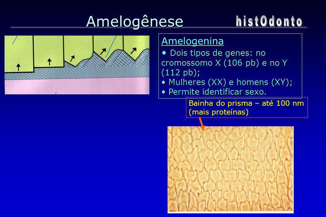 Bainha do prisma – até 100 nm (mais proteínas) Amelogênese Amelogenina Dois tipos de genes: no cromossomo X (106 pb) e no Y (112 pb); Dois tipos de ge