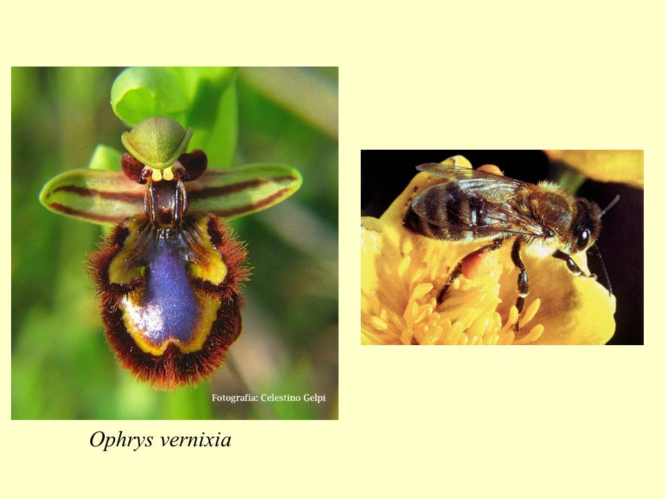 Ophrys vernixia