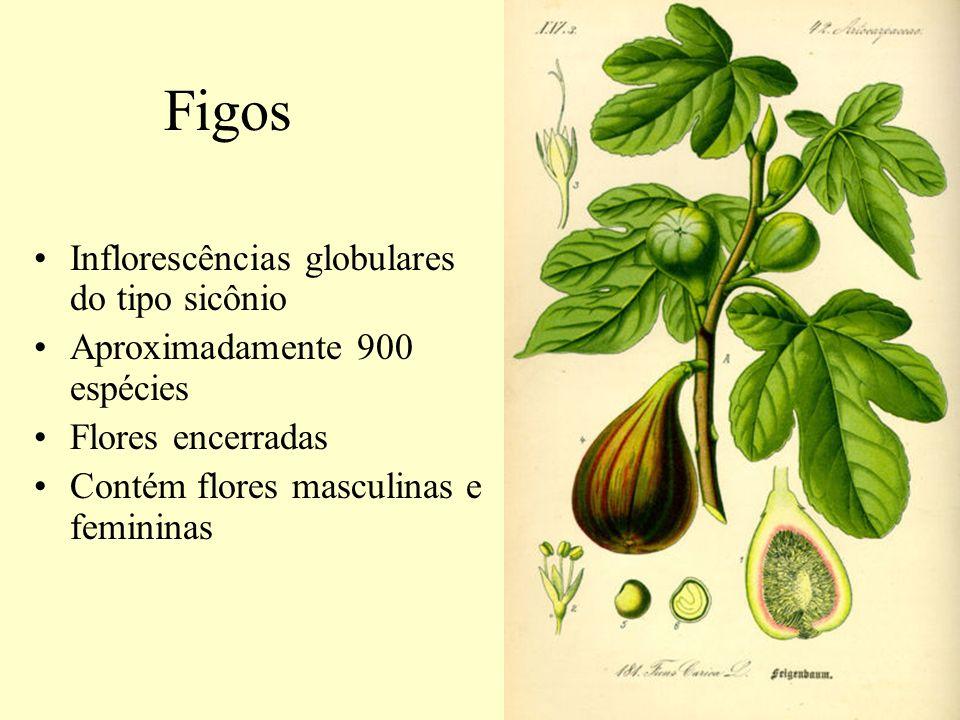 Figos Inflorescências globulares do tipo sicônio Aproximadamente 900 espécies Flores encerradas Contém flores masculinas e femininas