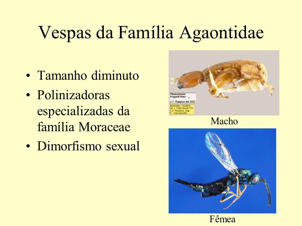 Vespas da Família Agaontidae Tamanho diminuto Polinizadoras especializadas da família Moraceae Dimorfismo sexual Macho Fêmea