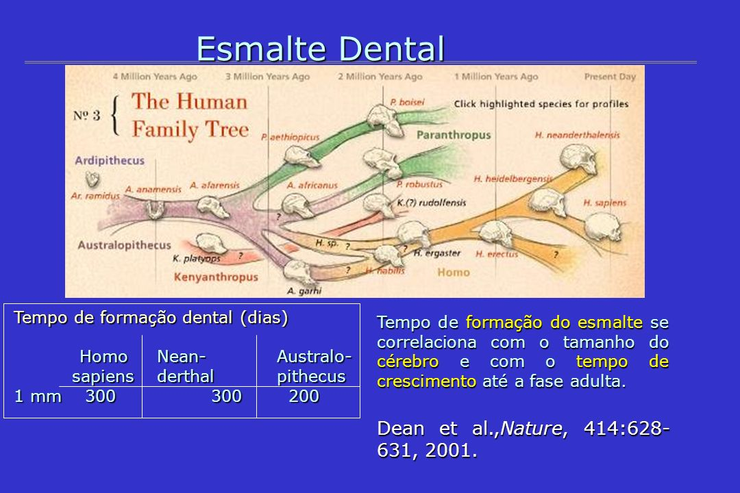 Tempo de formação do esmalte se correlaciona com o tamanho do cérebro e com o tempo de crescimento até a fase adulta. Dean et al.,Nature, 414:628- 631