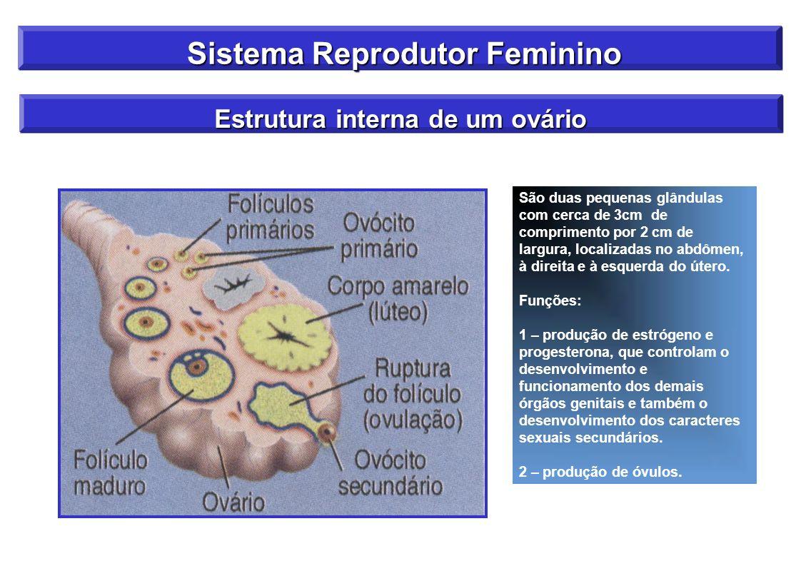 Sistema Reprodutor Feminino Sistema Reprodutor Feminino Estrutura interna de um ovário São duas pequenas glândulas com cerca de 3cm de comprimento por
