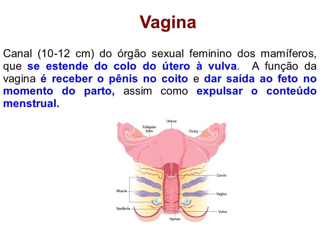 Vagina Canal (10-12 cm) do órgão sexual feminino dos mamíferos, que se estende do colo do útero à vulva. A função da vagina é receber o pênis no coito