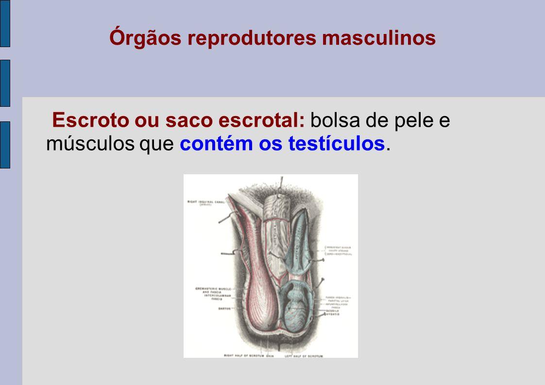 Órgãos reprodutores masculinos Escroto ou saco escrotal: bolsa de pele e músculos que contém os testículos.