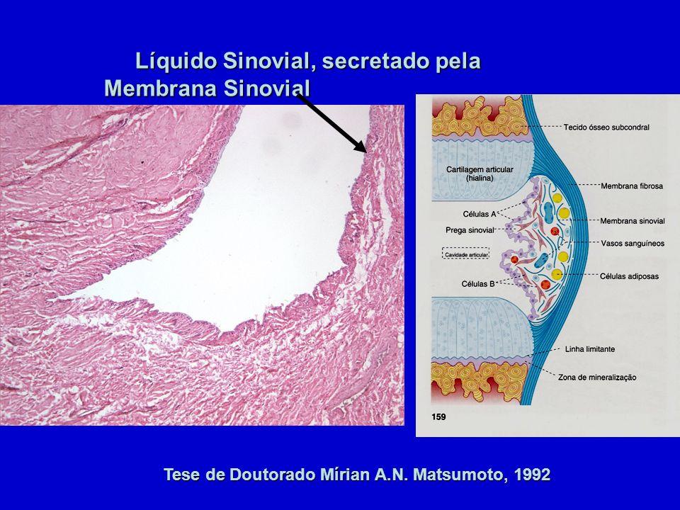 Tese de Doutorado Mírian A.N. Matsumoto, 1992 Líquido Sinovial, secretado pela Membrana Sinovial Líquido Sinovial, secretado pela Membrana Sinovial