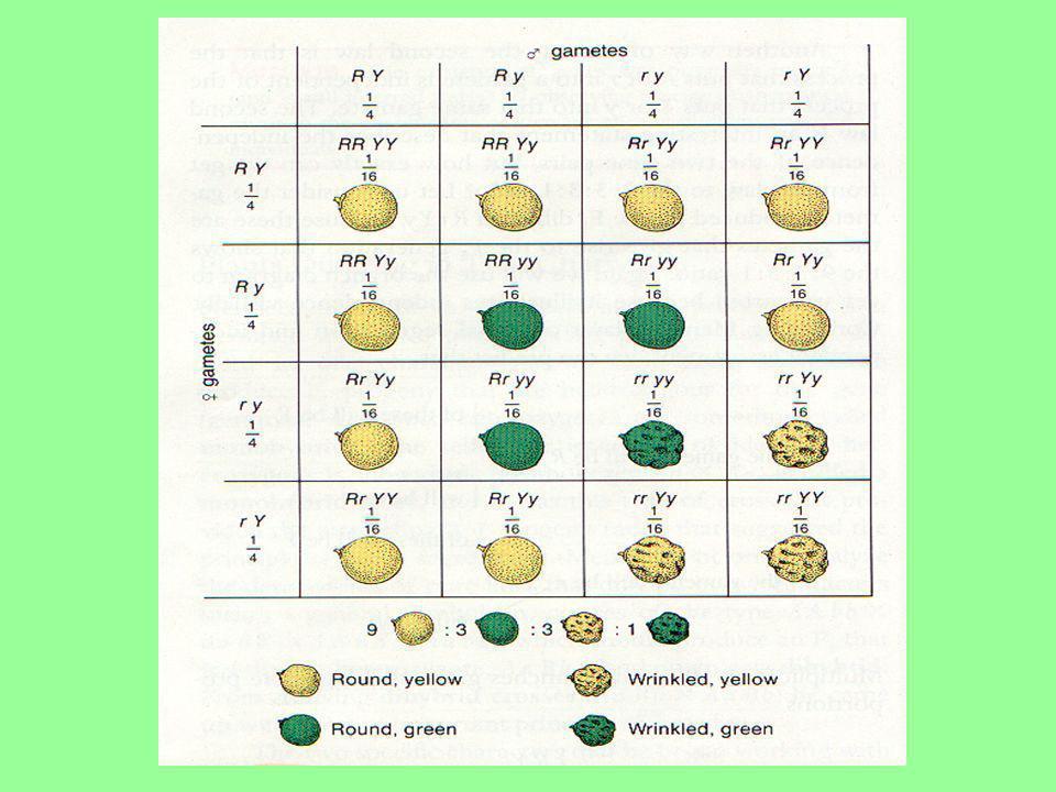 F2: fenótipo 9 amarelas lisas 3 amarelas rugosas 3 verdes lisas 1 verde rugosa Proporção: 9 : 3 : 3 : 1