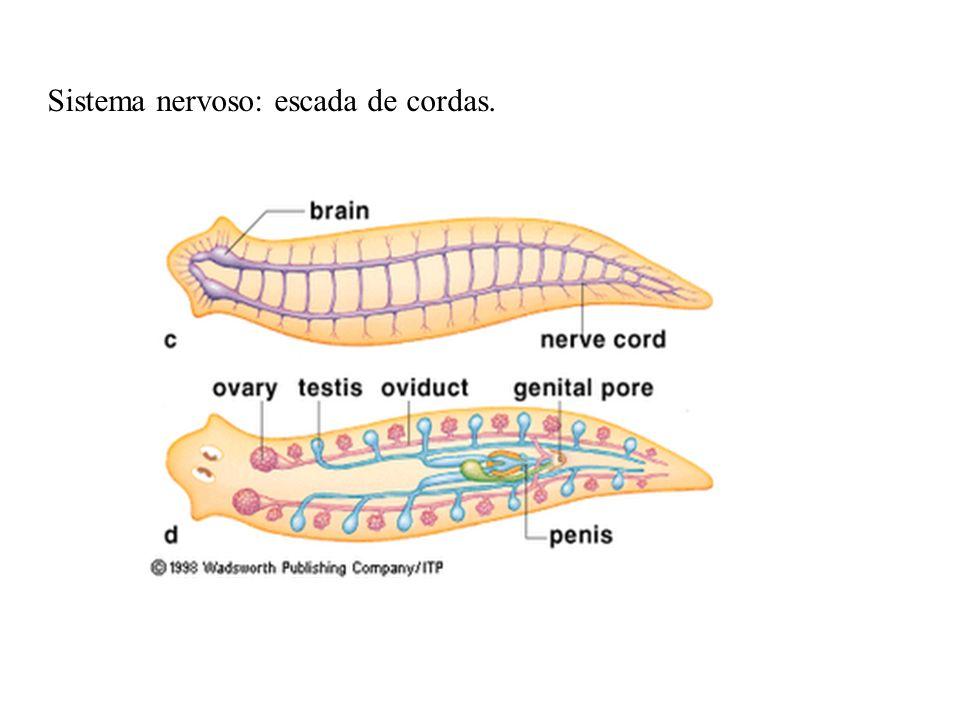 Sistema nervoso: escada de cordas.