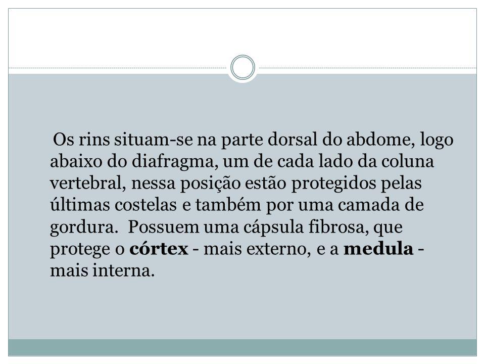 Os rins situam-se na parte dorsal do abdome, logo abaixo do diafragma, um de cada lado da coluna vertebral, nessa posição estão protegidos pelas últim