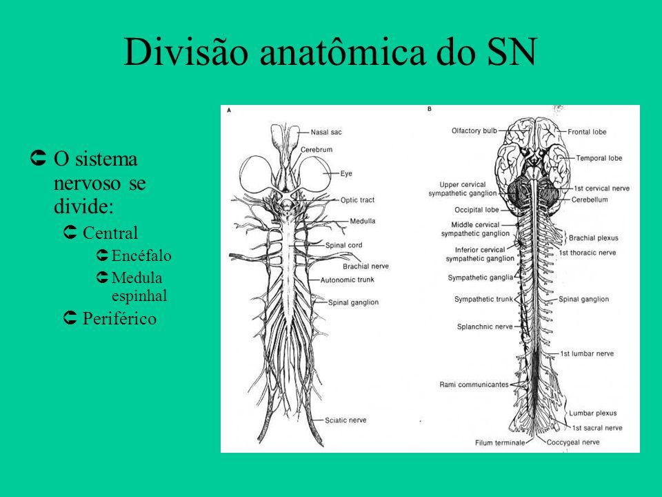 Divisão anatômica do SN ÛO sistema nervoso se divide: ÛCentral ÛEncéfalo ÛMedula espinhal ÛPeriférico
