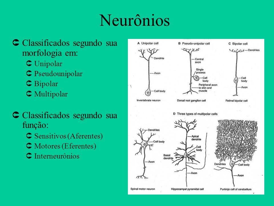 Neurônios ÛClassificados segundo sua morfologia em: ÛUnipolar ÛPseudounipolar ÛBipolar ÛMultipolar ÛClassificados segundo sua função: ÛSensitivos (Afe