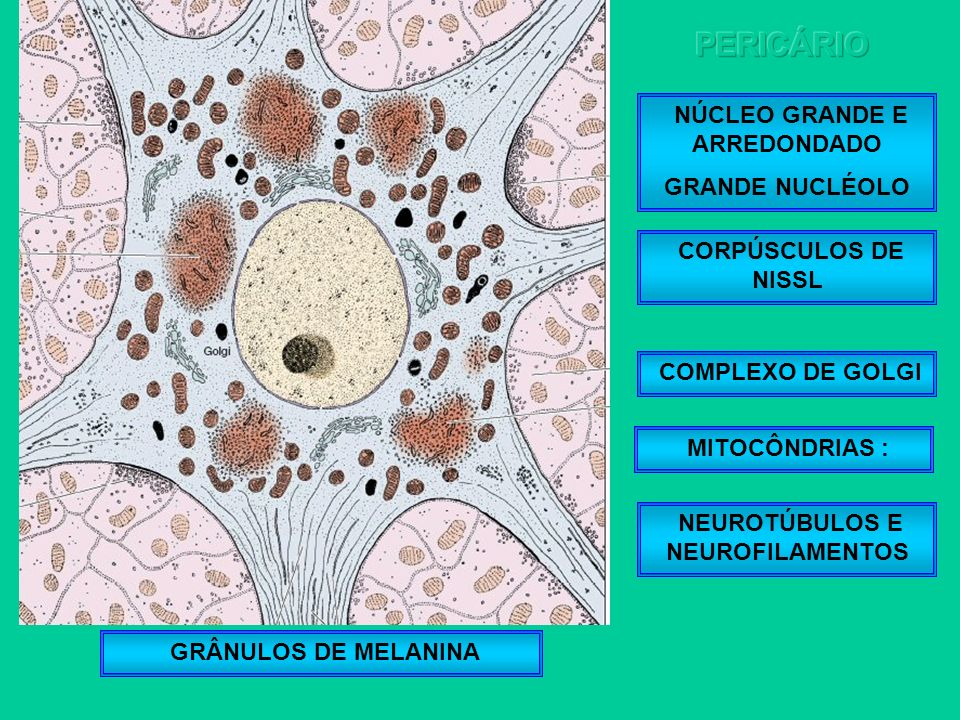 NÚCLEO GRANDE E ARREDONDADO GRANDE NUCLÉOLO CORPÚSCULOS DE NISSL COMPLEXO DE GOLGI GRÂNULOS DE MELANINA NEUROTÚBULOS E NEUROFILAMENTOS MITOCÔNDRIAS :