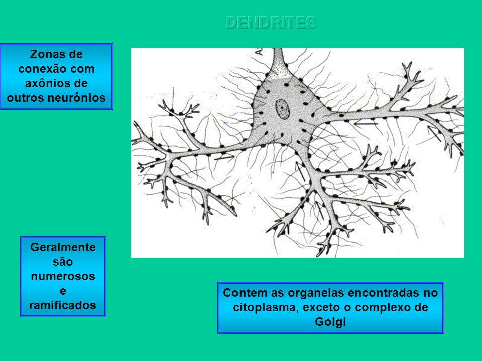Contem as organelas encontradas no citoplasma, exceto o complexo de Golgi Geralmente são numerosos e ramificados Zonas de conexão com axônios de outro