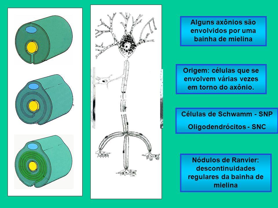 Células de Schwamm - SNP Oligodendrócitos - SNC Alguns axônios são envolvidos por uma bainha de mielina Origem: células que se envolvem várias vezes e
