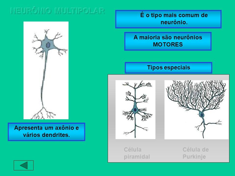 A maioria são neurônios MOTORES É o tipo mais comum de neurônio. Apresenta um axônio e vários dendrites. Célula piramidal Célula de Purkinje Tipos esp