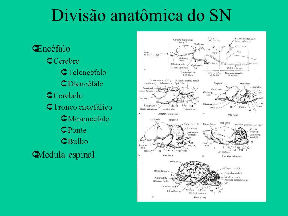 Divisão anatômica do SN ÛEncéfalo ÛCérebro ÛTelencéfalo ÛDiencéfalo ÛCerebelo ÛTronco encefálico ÛMesencéfalo ÛPonte ÛBulbo ÛMedula espinal