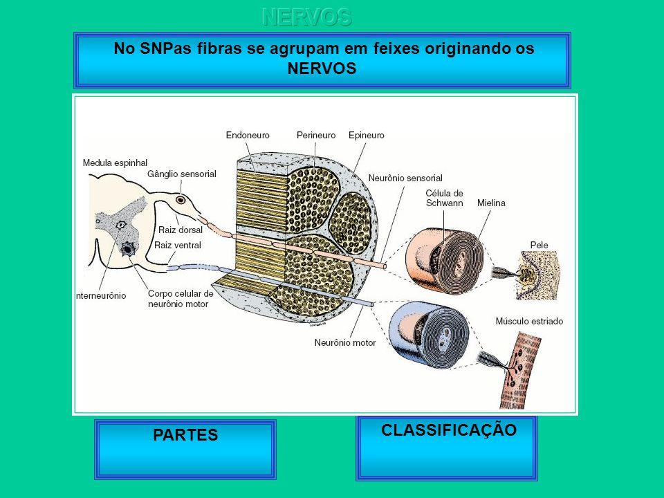 No SNPas fibras se agrupam em feixes originando os NERVOS PARTES CLASSIFICAÇÃO