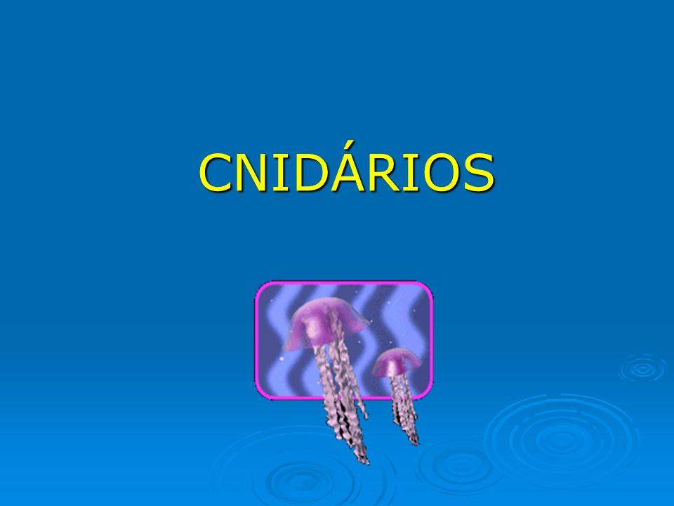 CLASSE SCYPHOZOA (cifozoários) Medusa como forma predominante e de grande tamanho Pólipo muito reduzido Apresentam medusas imaturas chamadas éfiras Dióicos (maioria) Fecundação externa ou interna Apresentam metagênese