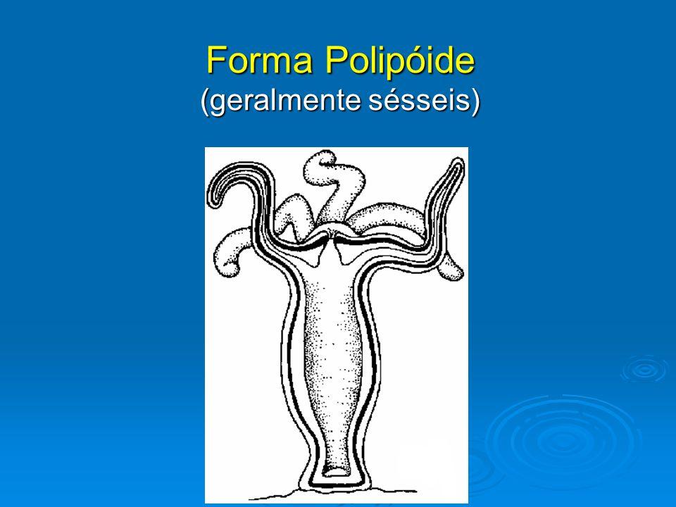 Forma Medusóide (livre-natantes) MORFOLOGIA EXTERNA