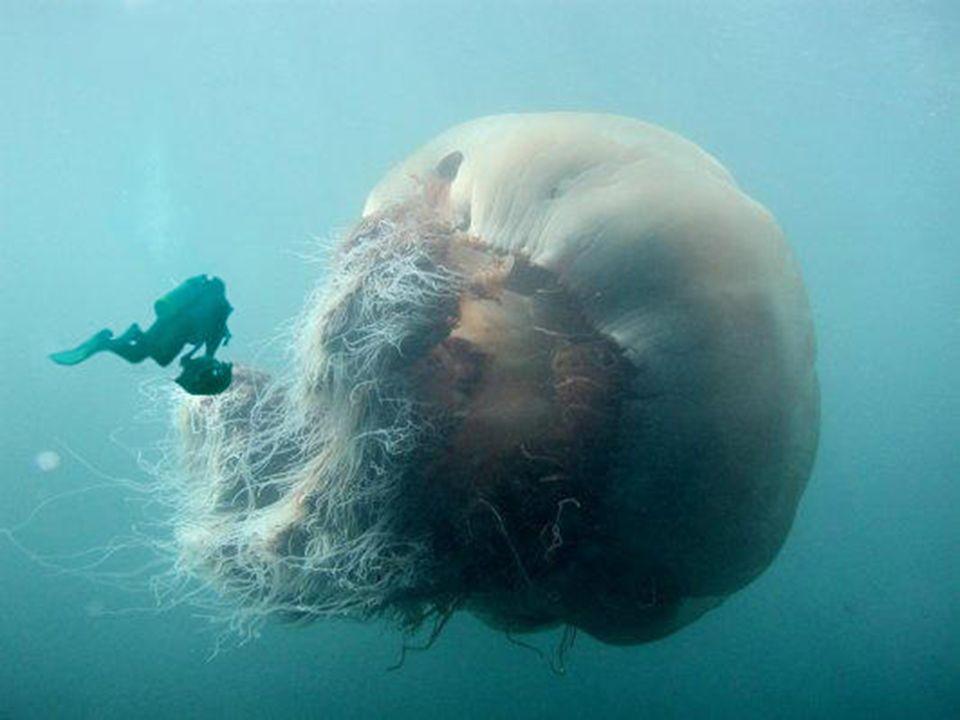 CLASSE SCYPHOZOA (cifozoários) Medusa como forma predominante e de grande tamanho Pólipo muito reduzido Apresentam medusas imaturas chamadas éfiras Di