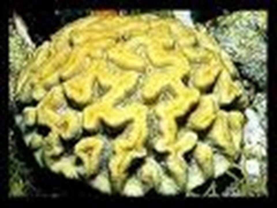 CLASSE ANTHOZOA Exclusivamente pólipos Isolados (anêmonas) ou coloniais (corais) Não apresentam metagênese Geralmente com Desenvolvimento Indireto (la