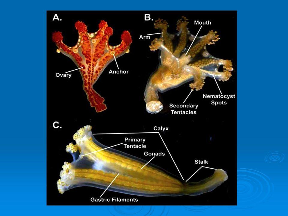 CLASSE STAUROZOA Exclusivamente medusóides que possuem pedúnculos que as fixam ao substrato ou a corpos de algas; Isolados ou coloniais. Larva plânula