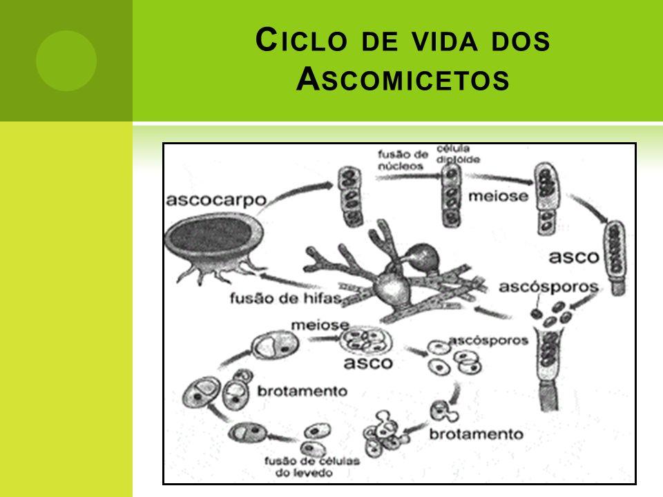 C ICLO DE VIDA DOS A SCOMICETOS