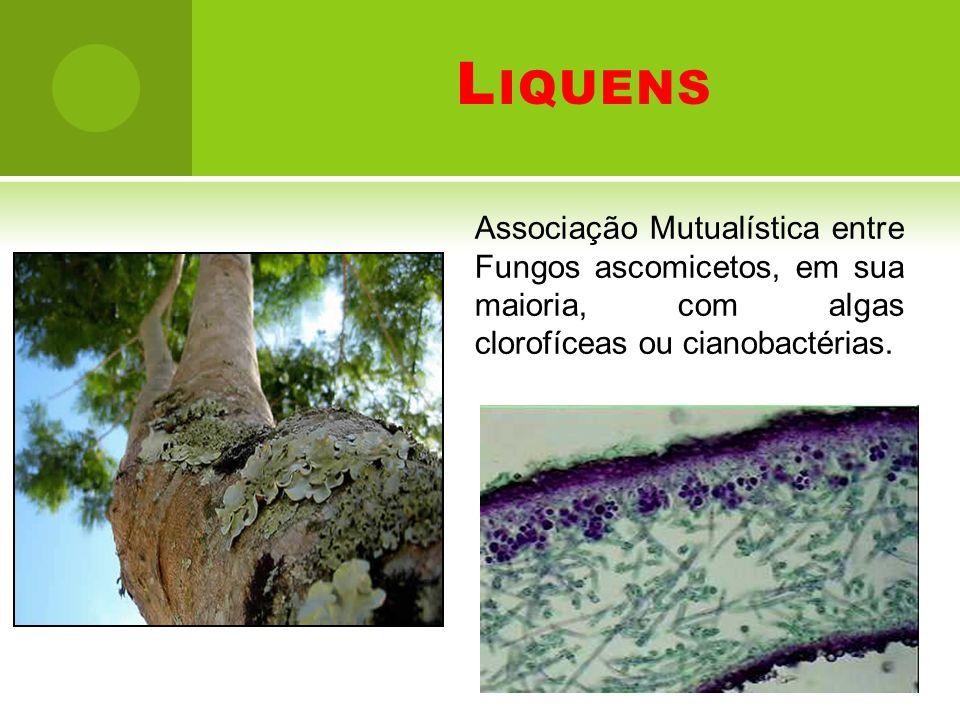 L IQUENS Associação Mutualística entre Fungos ascomicetos, em sua maioria, com algas clorofíceas ou cianobactérias.