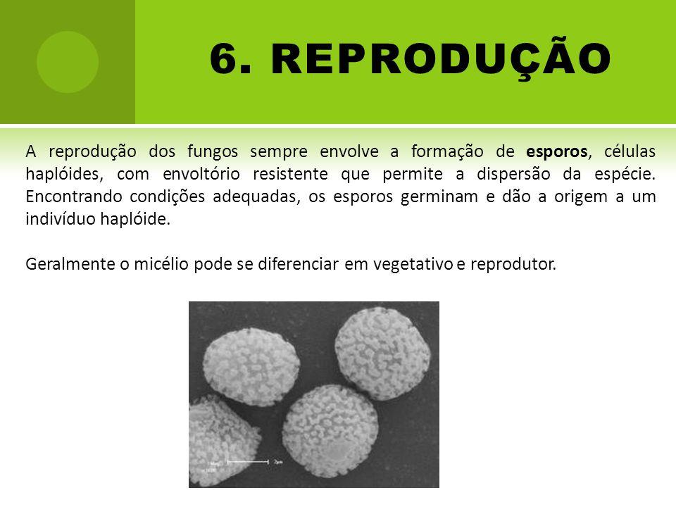 6. REPRODUÇÃO A reprodução dos fungos sempre envolve a formação de esporos, células haplóides, com envoltório resistente que permite a dispersão da es