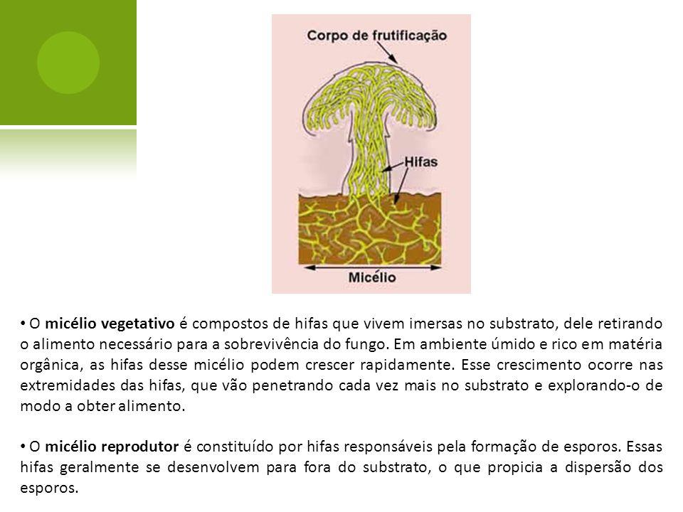 O micélio vegetativo é compostos de hifas que vivem imersas no substrato, dele retirando o alimento necessário para a sobrevivência do fungo. Em ambie