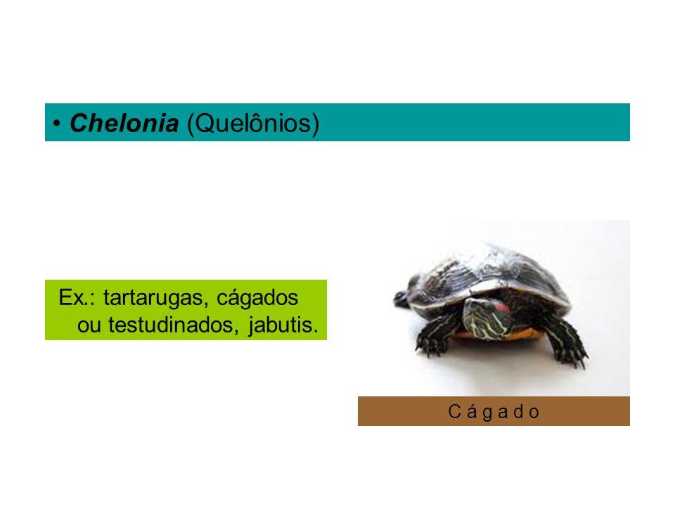 Chelonia (Quelônios) Ex.: tartarugas, cágados ou testudinados, jabutis. C á g a d o
