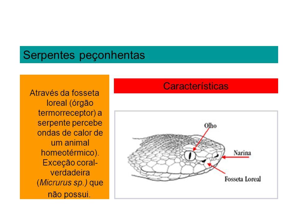 Serpentes peçonhentas Características Através da fosseta loreal (órgão termorreceptor) a serpente percebe ondas de calor de um animal homeotérmico). E
