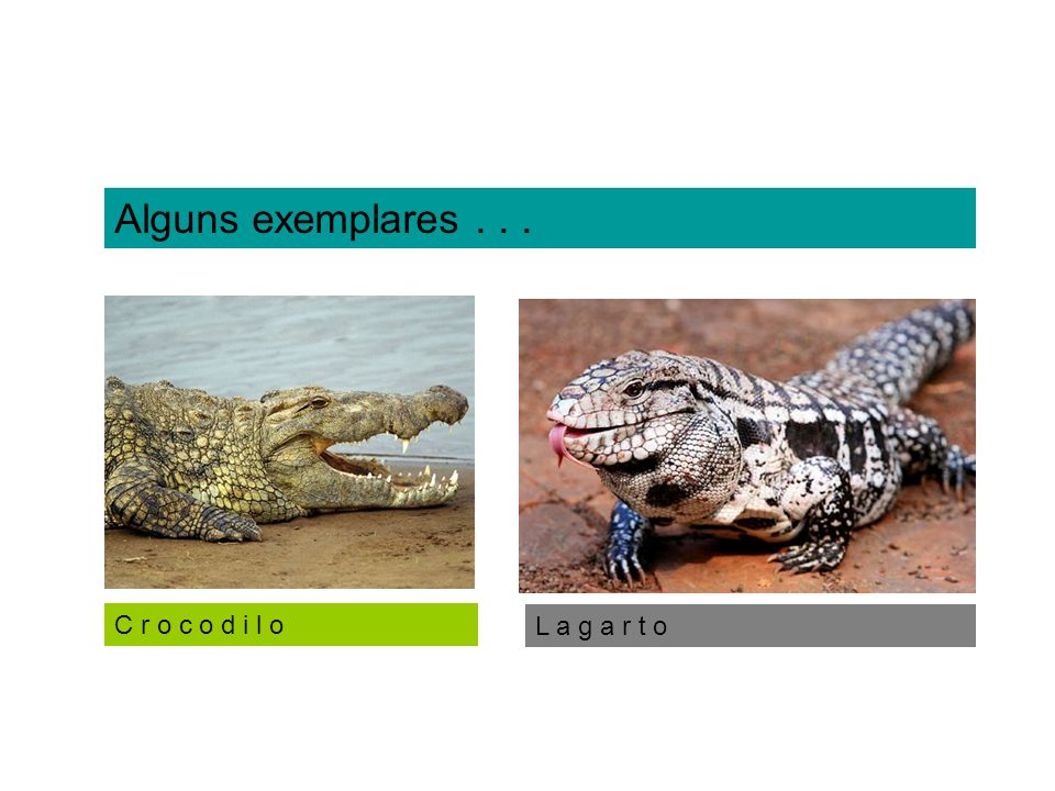 Ex.: jacarés, crocodilos. J a c a r é d o p a p o a m a r e l o ` Crocodilya (Crocodilianos)