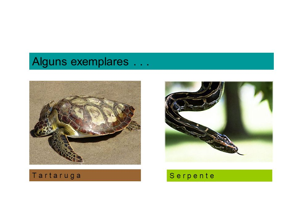 Squamata (Escamados) Subordem Sauria (sáurios ou lacertílios) Ex: lagartos, lagartixas) L a g a r t o L a g a r t i x a