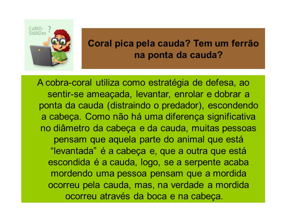 A cobra-coral utiliza como estratégia de defesa, ao sentir-se ameaçada, levantar, enrolar e dobrar a ponta da cauda (distraindo o predador), escondend