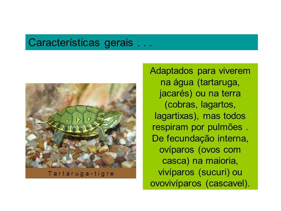 Características gerais... Adaptados para viverem na água (tartaruga, jacarés) ou na terra (cobras, lagartos, lagartixas), mas todos respiram por pulmõ