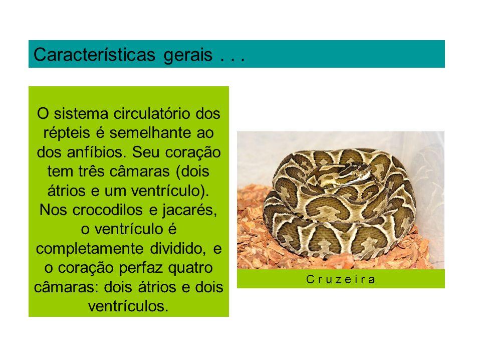 Rincocephalia (Rincocéfalos) Ex: Tuatara Sphenodon puntactun.