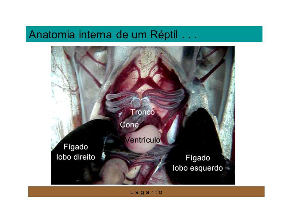 Anatomia interna de um Réptil... L a g a r t o