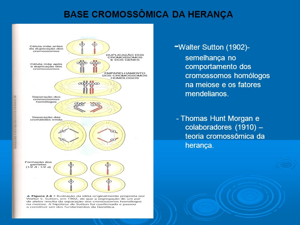 BASE CROMOSSÔMICA DA HERANÇA - Walter Sutton (1902)- semelhança no comportamento dos cromossomos homólogos na meiose e os fatores mendelianos.