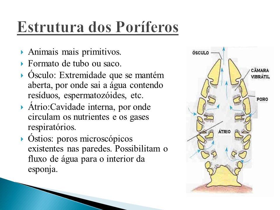 Não apresentam sistema nervoso nem muscular.Driblásticos: Formados pela endoderme e ectoderme.