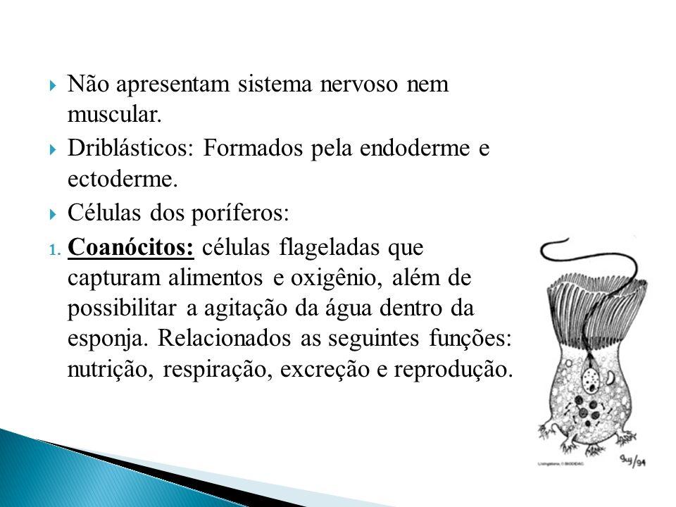 Pinacócitos: Células achatadas que revestem e protegem o corpo das esponjas.