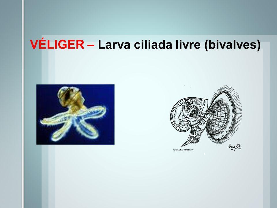 LARVAS TROCÓFORA – Larva ciliada (gastrópodes primitivos, bivalves e poliplacophoras)
