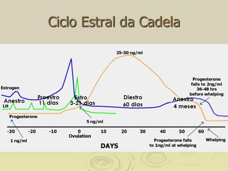 Ciclo Estral da Cadela EstroDiestro Anestro Proestro 4 meses 60 dias 3-21 dias11 dias