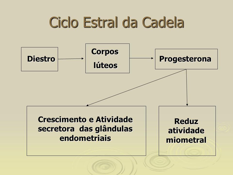 Ciclo Estral da Cadela Diestro Corpos lúteos lúteos Progesterona Reduz atividade miometral Crescimento e Atividade secretora das glândulas endometriais