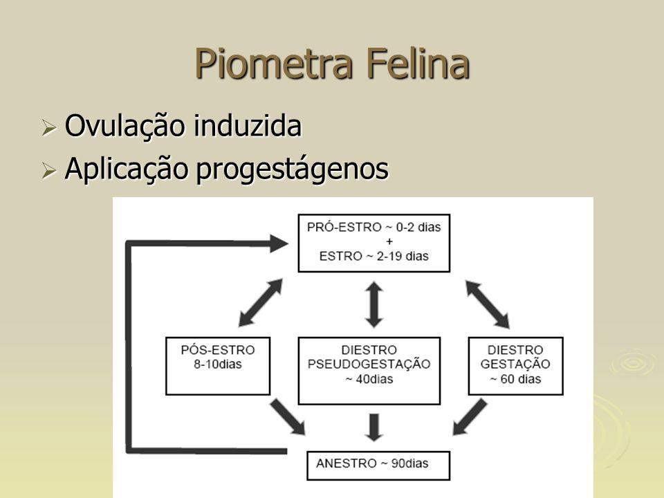 Piometra Felina Ovulação induzida Ovulação induzida Aplicação progestágenos Aplicação progestágenos