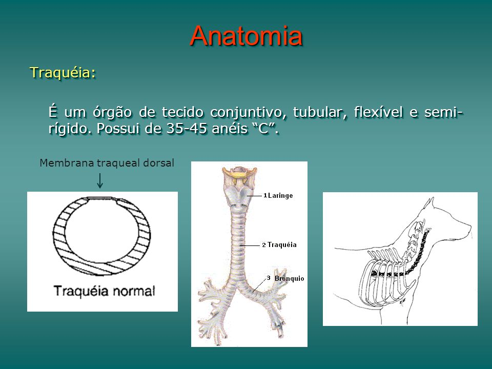 AnatomiaAnatomia Traquéia: É um órgão de tecido conjuntivo, tubular, flexível e semi- rígido. Possui de 35-45 anéis C. Traquéia: Membrana traqueal dor