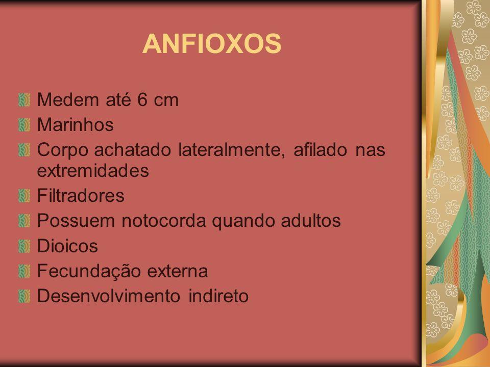 ANFIOXOS Medem até 6 cm Marinhos Corpo achatado lateralmente, afilado nas extremidades Filtradores Possuem notocorda quando adultos Dioicos Fecundação