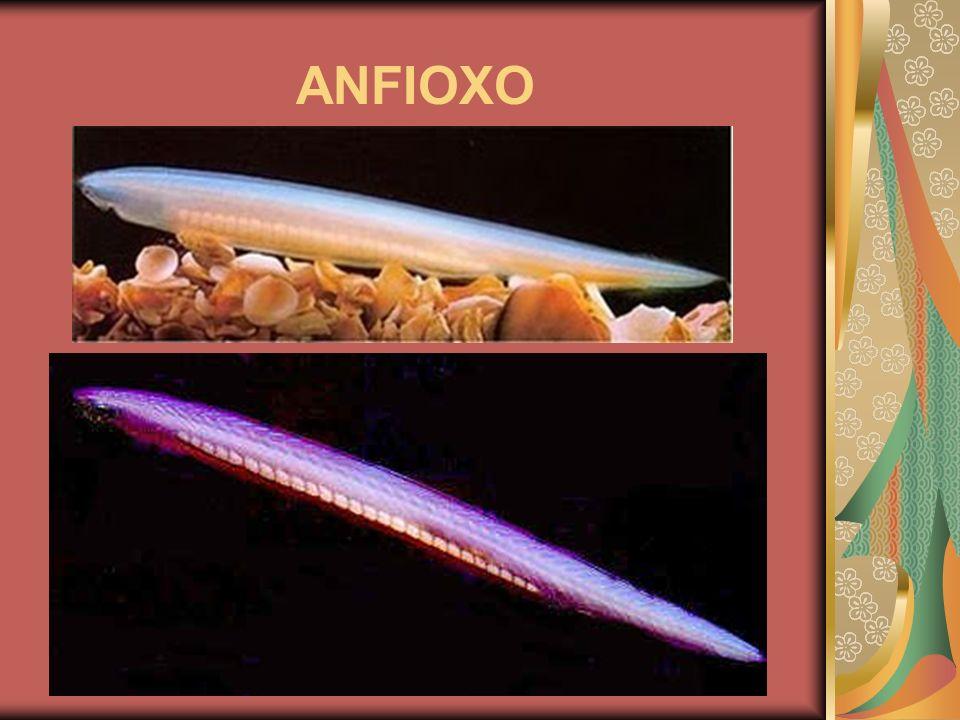 ANFIOXO